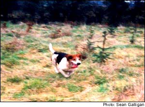 beagle running through forested field