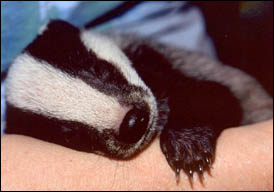 rescued badger